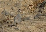 Arabian Partridge (Arabisk rödhöna) Alectoris melanocephala IMG_9847