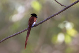 African Paradise Flycatcher IMG_0174