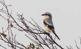Great Grey Shrike (Varfågel) Lanius excubitor - CP4P9687.jpg