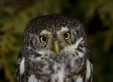 Pygmy Owl (Sparvuggla) Glaucidium passerinum - IMG_3877.jpg
