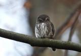 Pygmy Owl (Sparvuggla) Glaucidium passerinum - CP4P1991.jpg