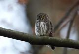 Pygmy Owl (Sparvuggla) Glaucidium passerinum -CP4P2038.jpg