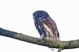 Pygmy Owl (Sparvuggla) Glaucidium passerinum - CP4P3525.jpg