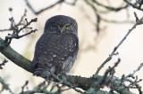 Pygmy Owl (Sparvuggla) Glaucidium passerinum - CP4P3606.jpg
