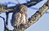 Pygmy Owl (Sparvuggla) Glaucidium passerinum  - CP4P3505.jpg