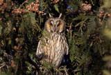 Long-eared Owl (Hornuggla) Asio otus - CP4P5239.jpg