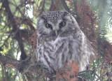 Boreal Owl (Pärluggla) Aegolius funereus - CP4P5394.jpg
