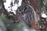 Boreal Owl (Pärluggla) Aegolius funereus - CP4P5460.jpg