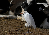 Cattle Egret (Kohäger) Bubulcus ibis - IMG_5280.jpg