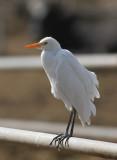 Cattle Egret (Kohäger) Bubulcus ibis - IMG_5285.jpg