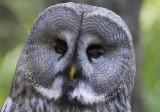 Great Grey Owl (Lappuggla) Strix nebulosa - CP4P8920.jpg