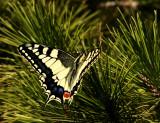 Common Swallowtail (Makaonfjäril) Papilio machon