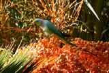 Ring-necked Parakeet (Halsbandsparakit) Psittacula krameri