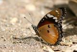 Common Diadem (Hypolimnas misippus)