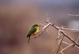 Little Bee-eater Merops pusillus