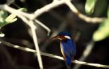 Malachite Kingfisher (Malakitkungsfiskare) Alcedo cristata