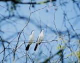 Swamp Boubou Laniarius bicolor