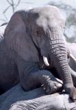 Mourning elephant