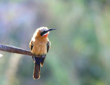 White-fronted Bee-eater Merops bullockoides