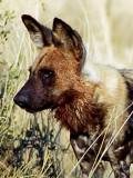 Wilddog (Hyenhund) Lyacon pictus