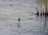 Lesser Jacana (Microparra capensis)
