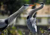 The Dancing Herons of Wakodahatchee