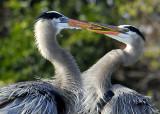 See the Dueling Herons