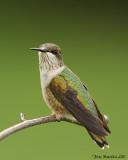 Colibri à gorge rubis / Ruby-Throated hummingbird