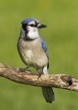 Geai bleu / Blue Jay