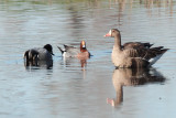 Eurasian Wigeon and Falcated Duck