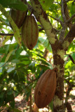 Rainforest Cacao