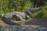 Spitssnuit krokodil - American crocodile - Crocodylus acutus