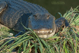 Amerikaanse alligator - American Alligator - Alligator mississippiensis