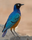 Driekleurglansspreeuw - Superb Starling - Lamprotornis superbus