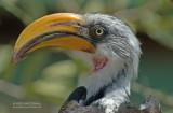 Geelbekneushoornvogel - Eastern Yellow-billed Hornbill - Tockus flavirostris