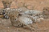 Cheetah - Cheetah - Acinonyx jubatus