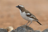 Mahali-wever - White-browed Sparrow Weaver - Plocepasser mahali