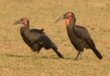 Zuidelijke Hoornraaf - Southern Ground-Hornbill - Bucorvus leadbeateri