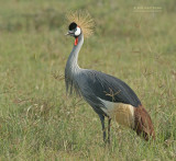 Grijze Kroonkraanvogel - Gray Crowned-Crane - Balearica regulorum