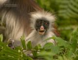 Zanzibar rode colobus - Zanzibar red colobus monkey - Procolobus kirkii