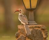 Roodsnaveltok - Northern Red-billed Hornbill - Tockus erythrorhynchus