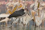 Afrikaanse Maraboe - Marabou Stork - Leptoptilos crumeniferus