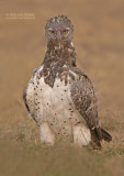 Vecht Arend - Martial Eagle - Polemaetus bellicosus