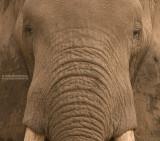 Afrikaanse Savanne olifant - African bush elephant - Loxodonta africana
