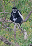 Black and white Colobus monkey - Oosterlijke Franjeaap - Colobus angolensis