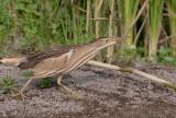 Woudaap - Little Bittern - Ixobrychus minutus