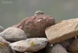 Steenuil - Little Owl - Athene noctua indigena