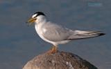 Dwergstern - Little Tern - Sterna albifrons