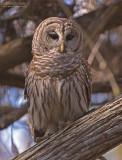 Gestreepte Bosuil - Barred Owl - Strix varia