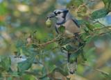 Blauwe Gaai - Blue Jay - Cyanocitta cristata